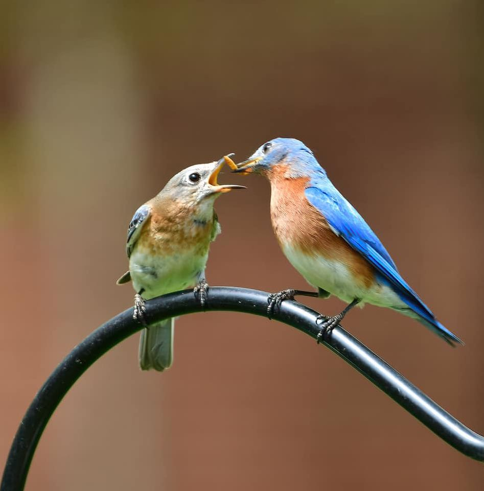 Eastern bluebird couple sharing a snack.
