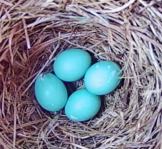 Eastern bluebird eggs. Photo by D'Bee Photography by Debbie McCaleb.