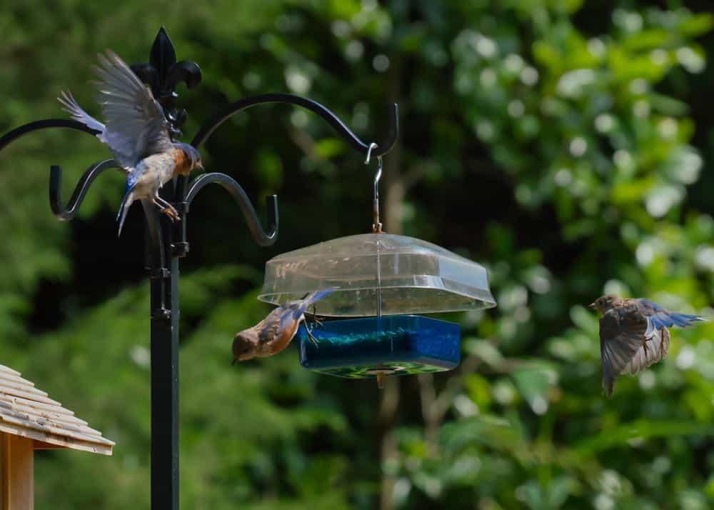 Eastern bluebirds enjoying feeder fare.