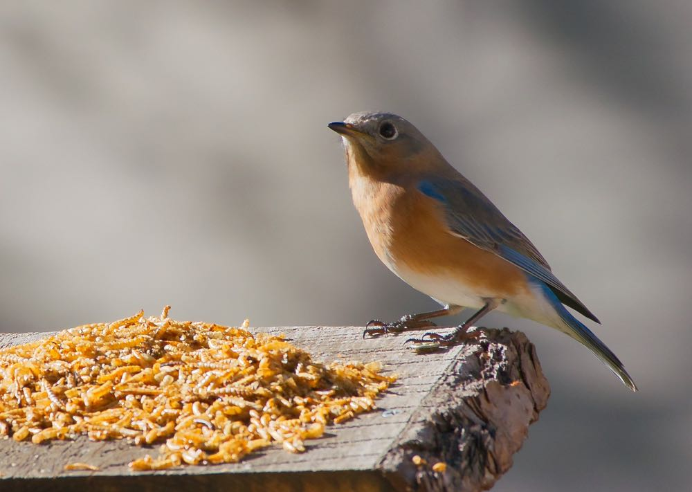 Eastern bluebird preparing to snack on mealworms.
