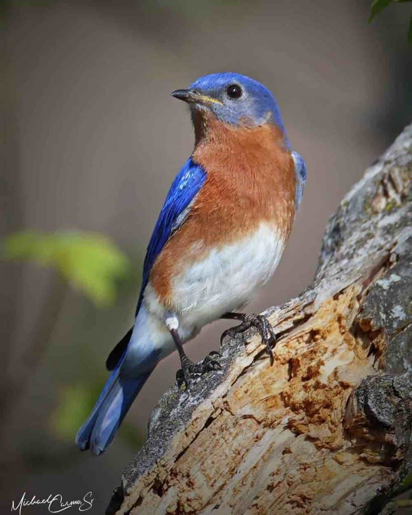 Attract this handsome eastern bluebird to your yard.