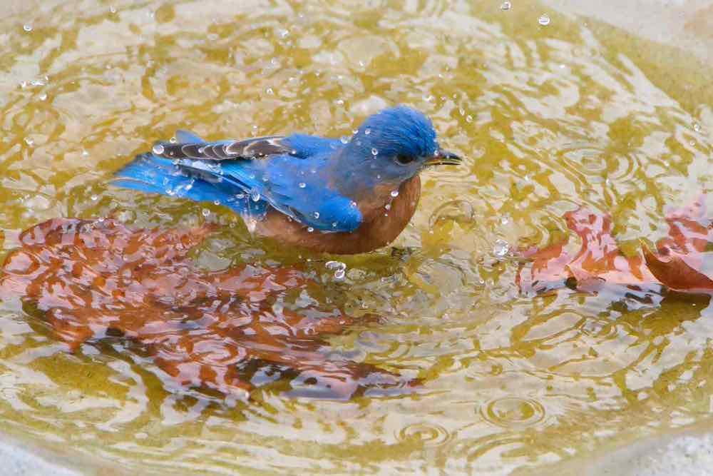 Eastern Bluebird in birdbath