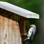 Eastern bluebird peeking in the hole of a birdhouse