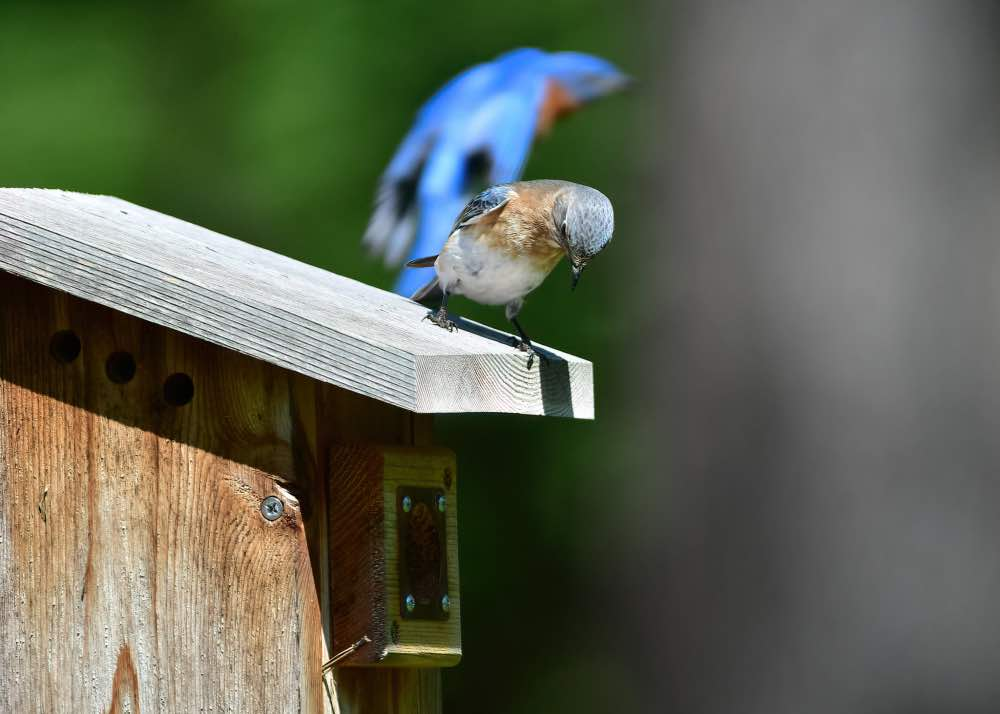 Eastern bluebird. Photo by D'Bee Photography by Debbie McCaleb.