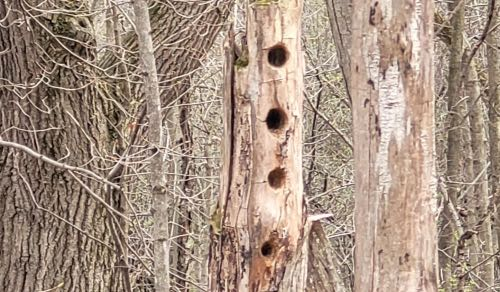 A bluebird couple would love to move into one of these abandoned woodpecker cavities.