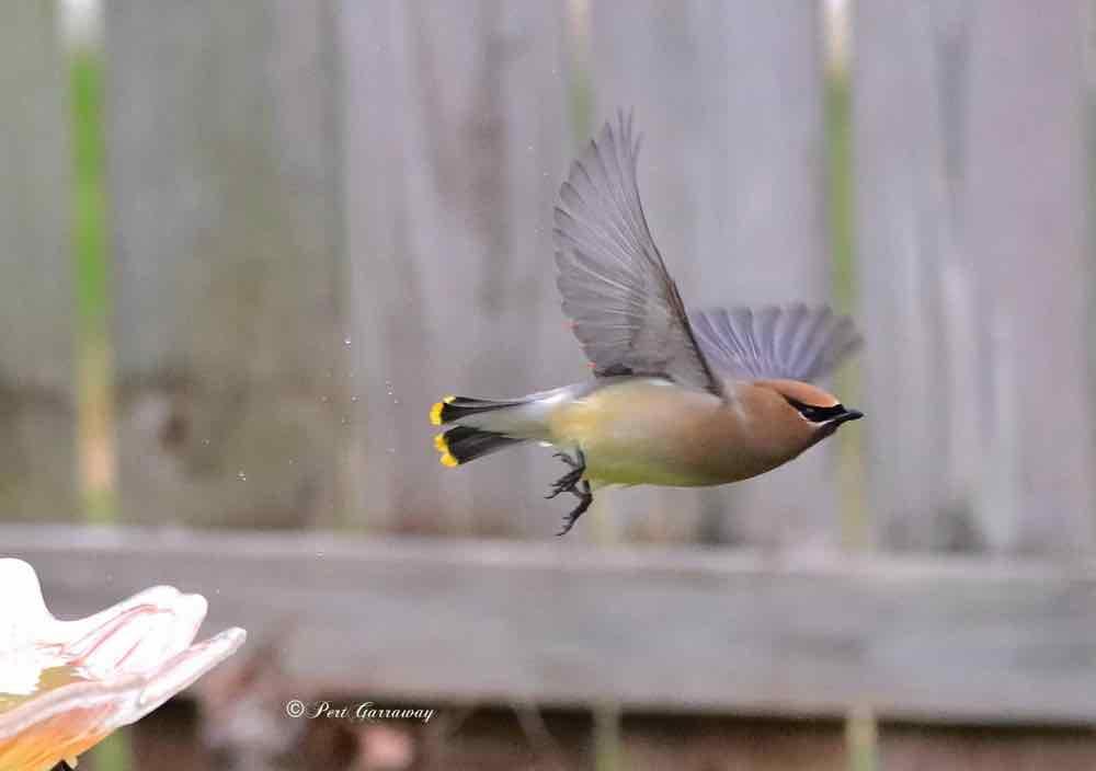 Cedar waxwing taking flight