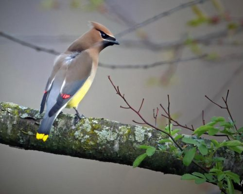 3 Secrets to Attract Cedar Waxwings to Your Yard