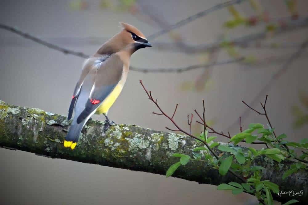 Cedar Waxwing sitting on a branch
