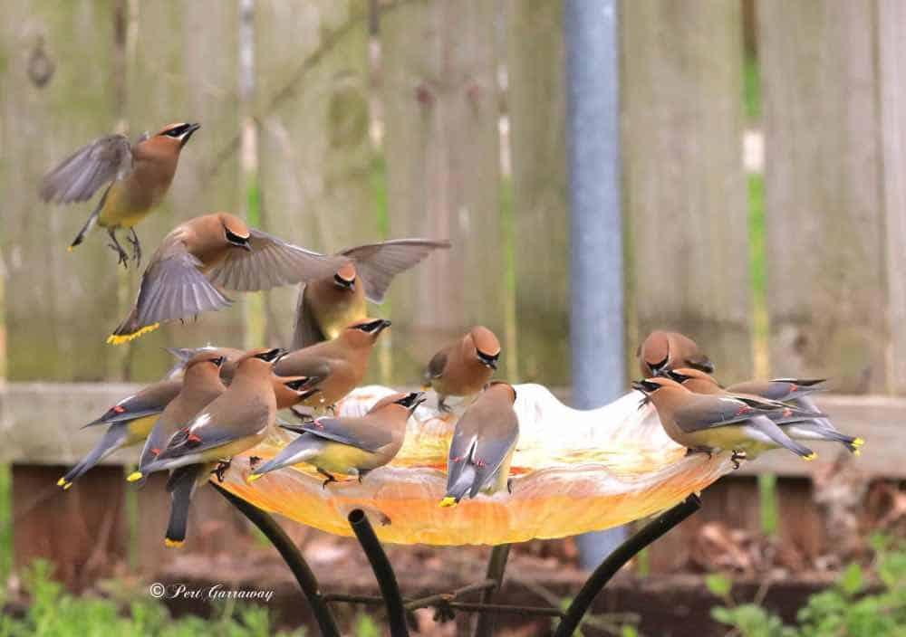 Flock of cedar waxwings enjoying a bath.