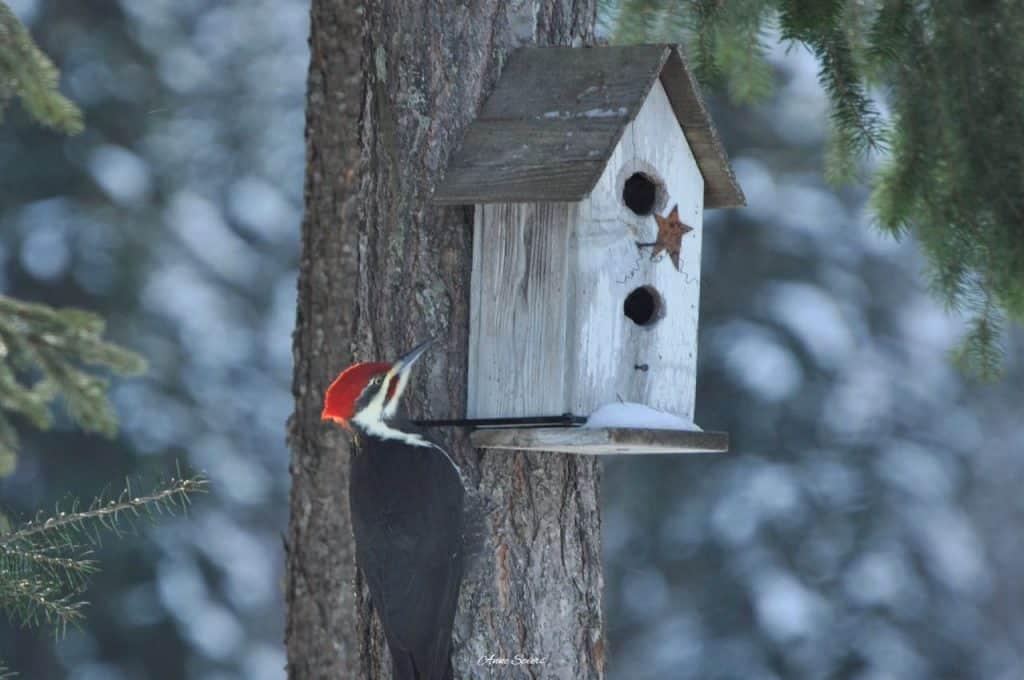 pileated woodpecker near nesting box birdhouse