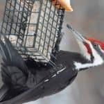 Male pileated woodpecker enjoying suet