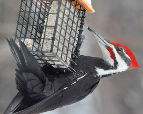 5 Proven Ways to Attract Pileated Woodpeckers to Your Yard