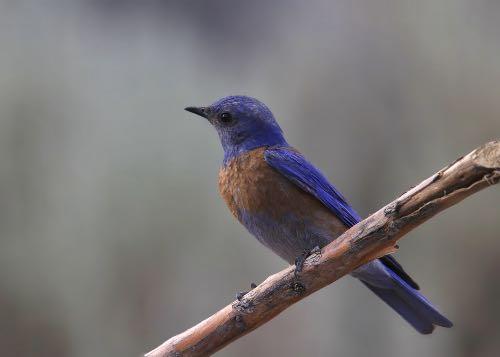 Western bluebird perched on branch