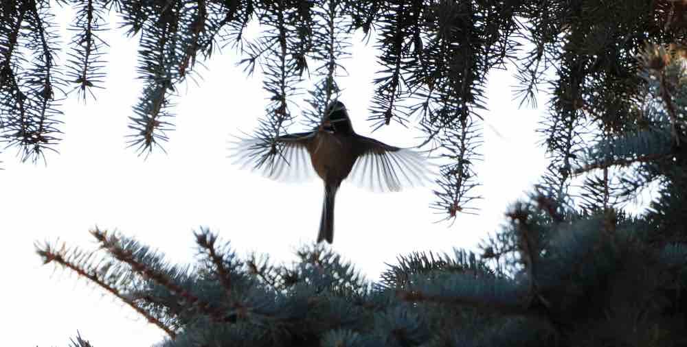 Silhouette of a black- capped chickadee flying