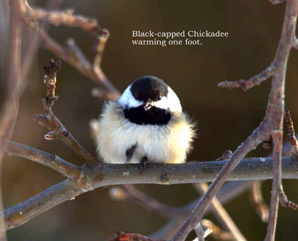 Black-capped chickadee on one foot, warming the other