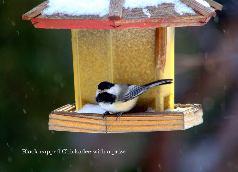 Black capped chickadee on feeder
