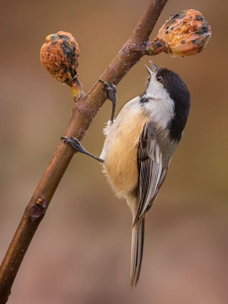 black capped chickadee dining on a tasty fig