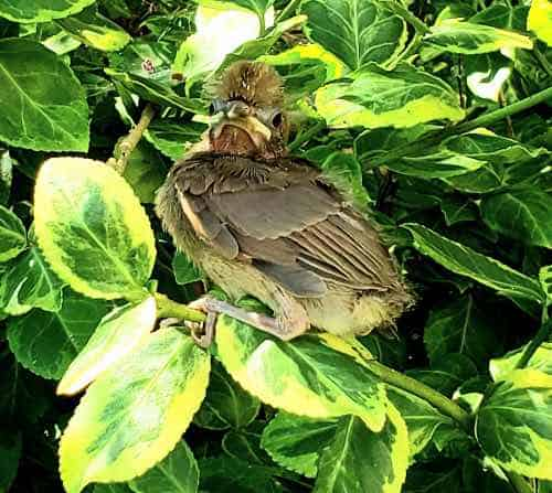 Cardinal fledgling nestled in a tree