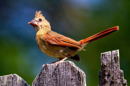 Female juvenile northern cardinal perched on a fence