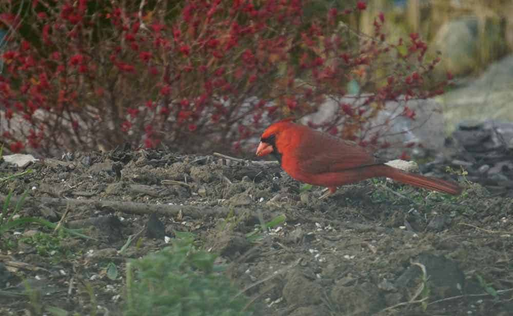 Male northern cardinal foraging for seeds