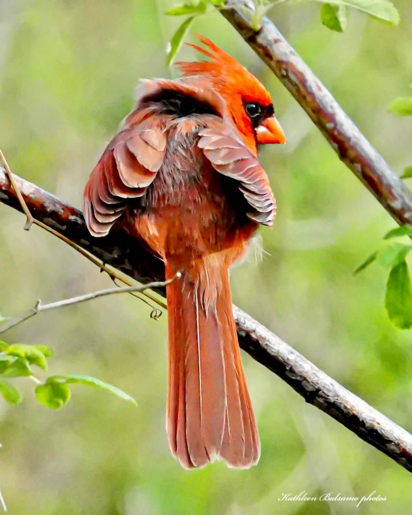 Male northern cardinal sitting on a branch