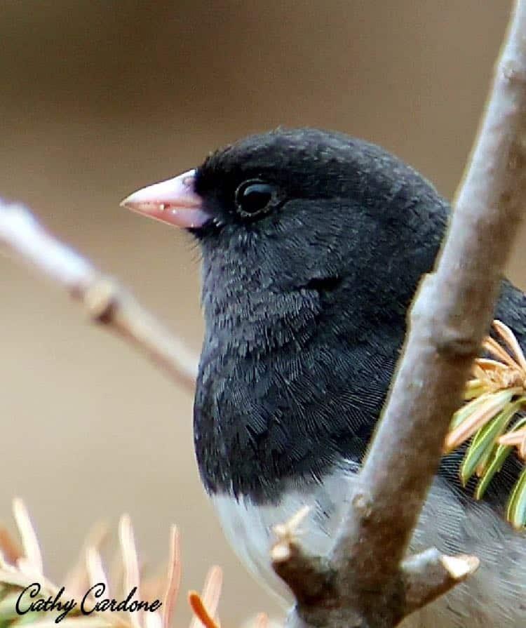 Male dark-eyed junco. Photo by Cathy Cardone.