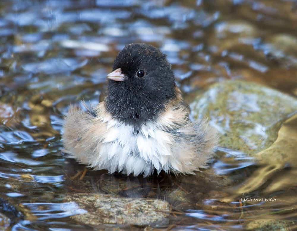 Dark eyed junco splashing in water