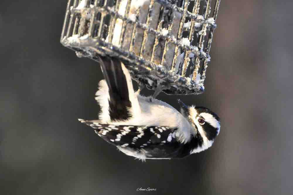 Female downy woodpecker at the suet feeder