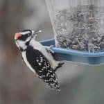 Male downy woodpecker at the feeder