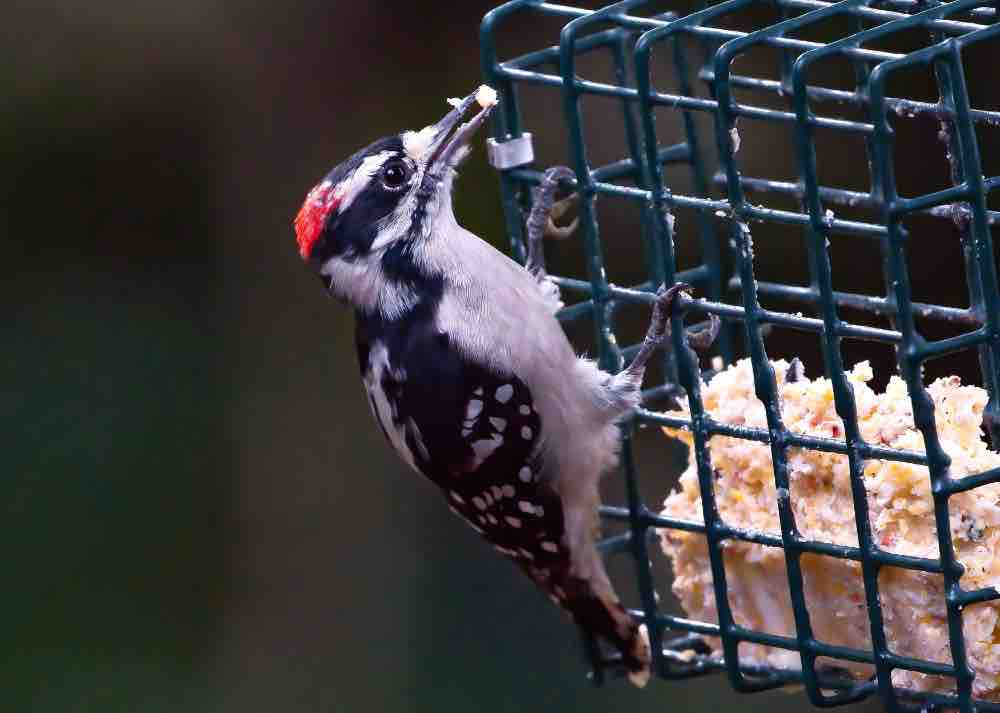 Male downy woodpecker at suet
