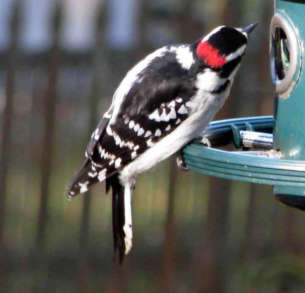 Downy woodpecker on feeder
