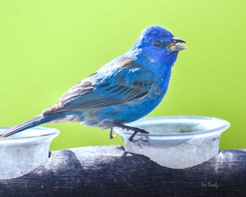5 Simple Ways to Attract Indigo Buntings to Your Yard