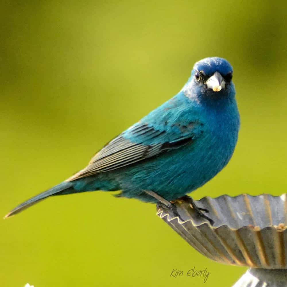 Male indigo bunting perched on edge of dish