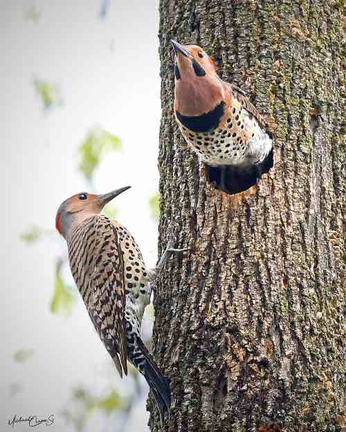 Northern flickers peeking out of tree cavity