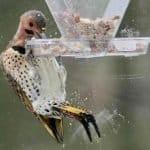 Northern flicker eating seed from bird feeder