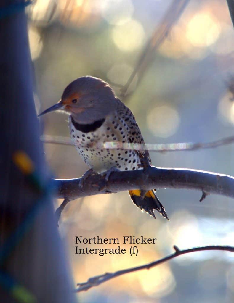 Female Northern flicker intergrade