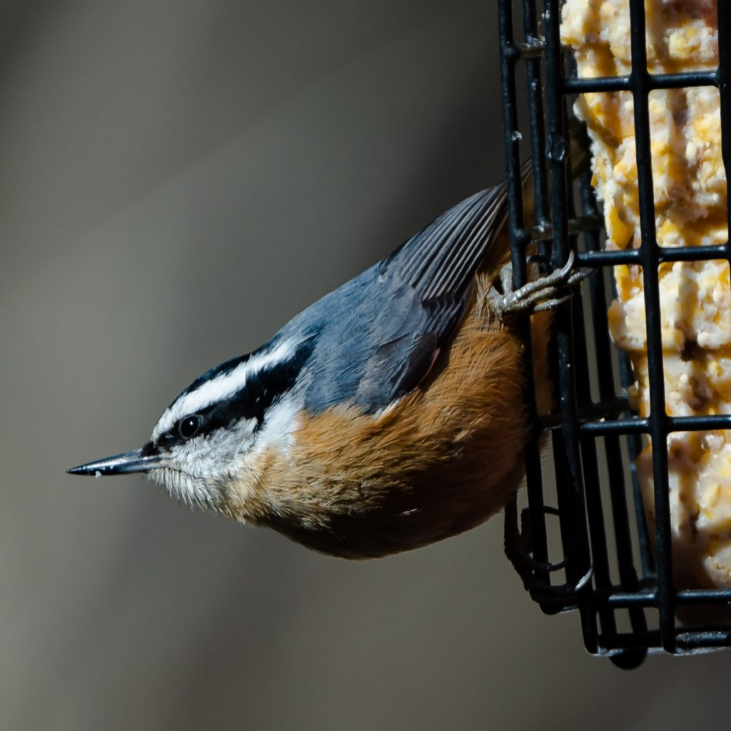 Red-breasted nuthatch on a suet cage