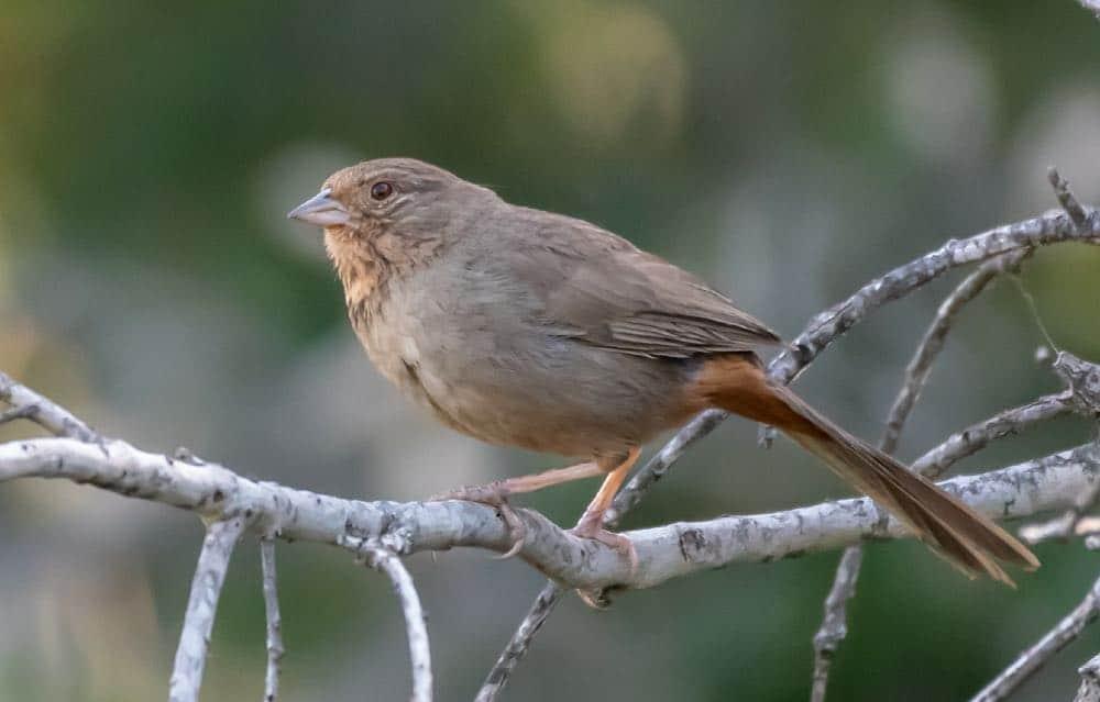 California towhee bird
