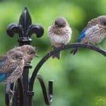 Eastern bluebird fledglings on a shepherd hook