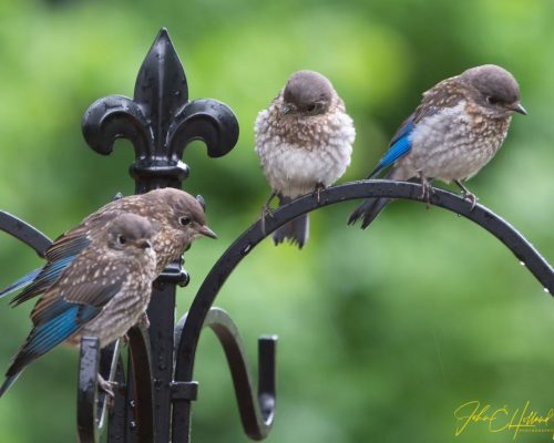 All About Baby Bluebirds from A to Z
