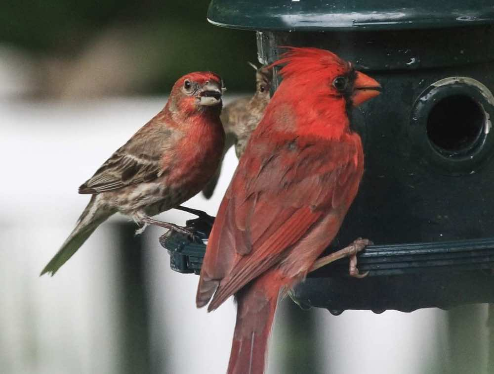 Male cardinal and male house finch on the feeder together