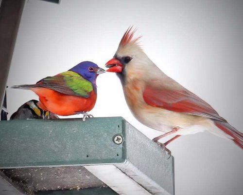 Do Cardinals Scare Away Other Birds?