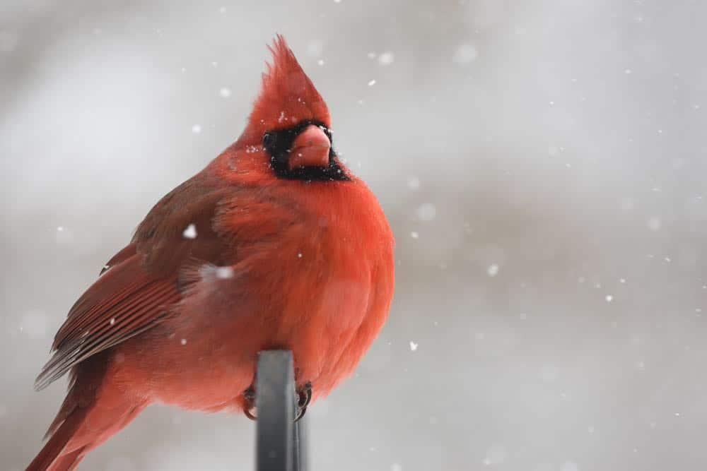 Cardinal on branch when snowing