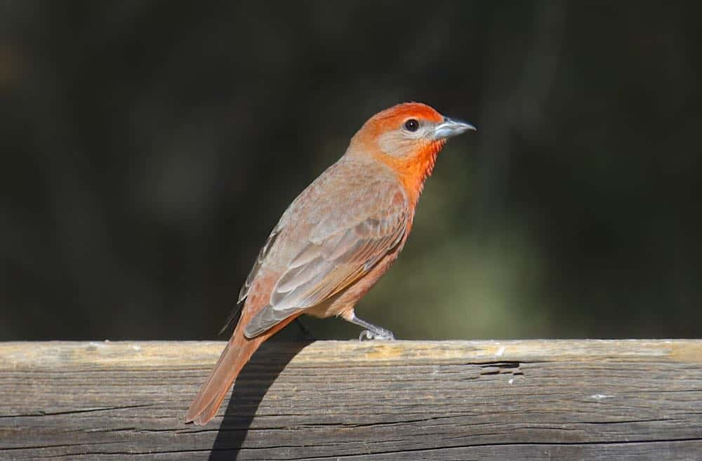 Male hepatic tanager