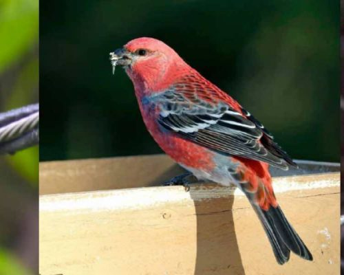 9 Birds That Look Like Cardinals (With Side-by-Side Photos)