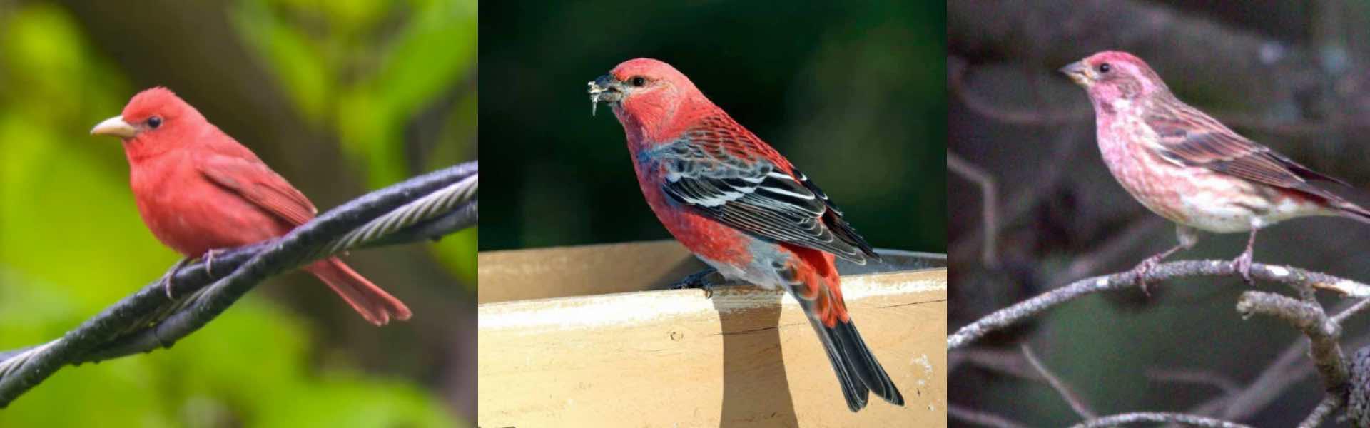 3 birds that look like cardinals