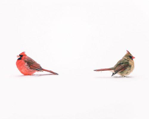 Do Cardinals Mate for Life?