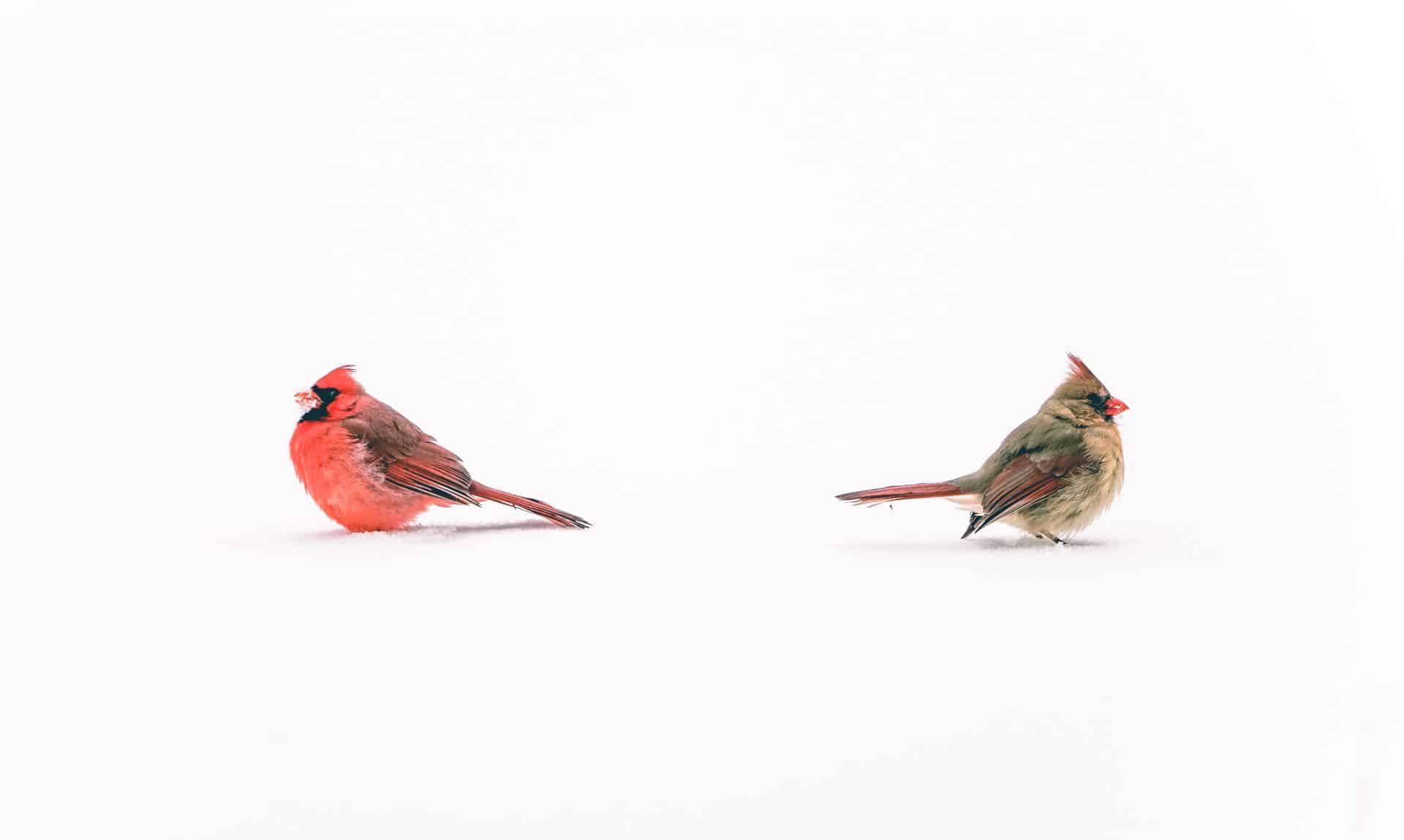 Male and female cardinal in the snow with their backs to each other