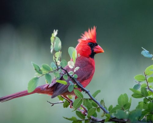 Bright Red Cardinals: Is Red Their Super Power?