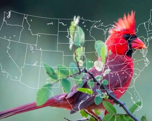 How Many States Chose The Cardinal As Their State Bird, When & Why?